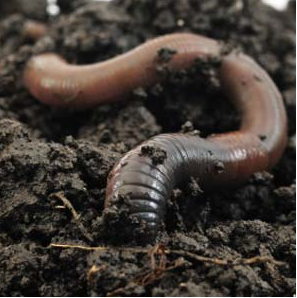 Earthworms plows soil